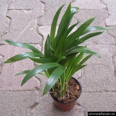 goldfruchtpalme, goldblattpalme  synonym(e): chrysalidocarpus lutescens, areca lutescens