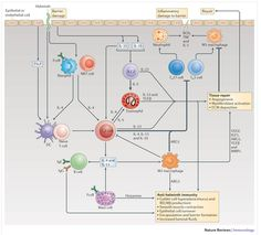 Type 2 immunity and wound healing: evolutionary refinement of adaptive immunity by helminths. Gause, Wynn & Allen.  Nature Reviews Immunology. 2013. http://www.nature.com/nri/journal/v13/n8/full/nri3476.html