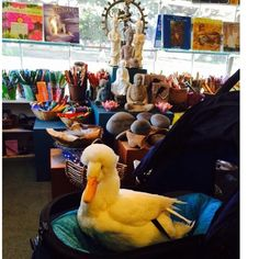 A quiet quacking is heard. Low and behold a feathered friend visits Paradise Found. Rescued duck goes out on the town...