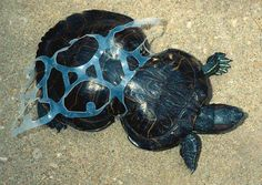 This is Peanut the turtle, shortly after being found in Missouri in 1993. She was taken to to a zoo in St. Louis where the six-pack ring was removed. It seems that she was trapped in the plastic ring as a young turtle and was unable to free herself. Subsequently her shell moulded itself to the plastic ring and she grew in the strange shape you see here. The damage is permanent, but peanut is expected to live a long life and today she serves as a mascot for the fight against beach littering.