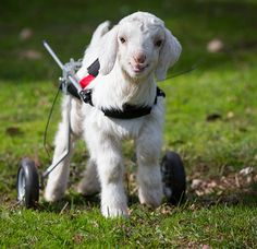 Frostie the Snow Goat from Edgar's Mission Farm Sanctuary