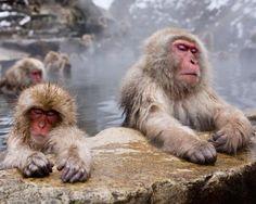 monkeys in hot springs