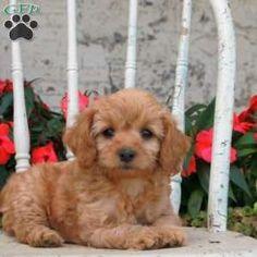 Cockapoo Puppies for Sale Cockapoo Dog Breed Info