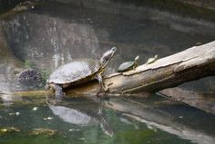 turtles basking on a log   Turtles basking at the Science Center pond.