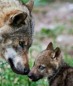 Wolf and pup wolf husky, wolf pup, wolf spirit, my spirit animal, wolf Nature Animals, Animals And Pets, Baby Animals, Funny Animals, Cute Animals, Strange Animals, Wolf Pictures, Animal Pictures, Beautiful Creatures
