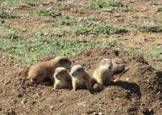 Prairie dog pups peek out of their burrow at Lake Arrowhead State Park near Wichita Falls