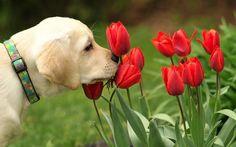Dog, red tulip flowers wallpaper