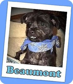 Beaumont is a 4-5 year old, 15 pound Havanese/Yorkie boy who came into rescue because his previous owner could no longer care for him.  He does very well with other dogs and walks well on a leash, but he does require an owner with experience as he can be very fearful of a crate.  We believe that he was crated a lot at his previous home, so he does MUCH better without a crate.  He enjoys playing with his human friends in games such as fetch but can also easily entertain himself with some ...