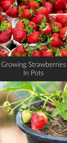 Growing strawberries in pots is an age-old practice, and an incredibly easy way to grow your own berries if you have limited gardening space. Learn everything you need to know to have a successful strawberry harvest. #strawberries #gardening #growyourown #greenthumb #diy via @earthfoodandfire