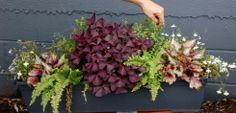 """Planter ideas: """"The Charms of Dublin, for part to full shade"""" shamrocks and ferns,  lobelia, fuschia and rex begonia"""