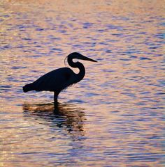 Great Blue Heron in Choctawhatchee Bay, outside of Destin, FL