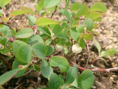 Northern Bilberry