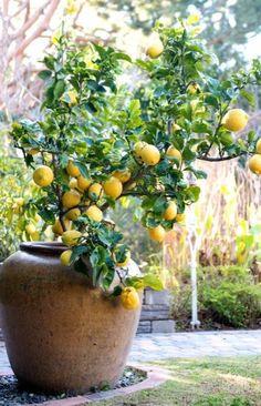 Potted lemon tree.