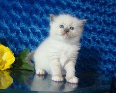 Zena Blue Mitted Female Ragdoll - Ragdoll Kitten for Sale - from www.RagdollKittens.com