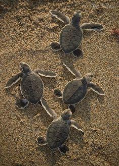 hawaiian green sea turtle babies too cute | schildkrötentag, baby wasserschildkröte, schildkröte