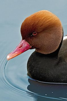 The Red-crested Pochard (Netta rufina) is a large diving duck. Its breeding habitat is lowland marshes and lakes in southern Europe and Central Asia, wintering in the Indian Subcontinent and Africa. It is somewhat migratory, and northern birds winter further south into north Afric