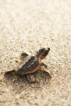 If you like tortoises, you'll like the loggerhead sea turtle. | 11 Endangered Animals You Should Get To Know Now