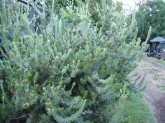 WANT Adenanthos sericeus australian wooly bush