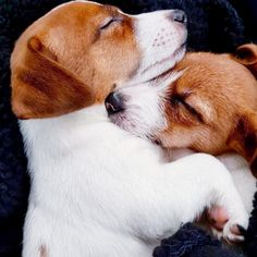 Puppies And Kitties, Cute Cats And Dogs, I Love Dogs, Jack Terrier, Parson Russell Terrier, Animals Beautiful, Cute Animals, Animal Hugs, Jack Russell Puppies