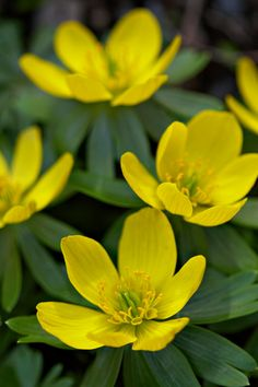 "Eranthis hyemalis (Winter Aconite) - Another great diminutive perennial bulb hardy everywhere in New England.  It blooms very early, about a week before crocuses, with bright yellow flowers on 6"" tall stems.  Will naturalize over time.  Best under deciduous trees or shrubs for full spring sun and summer shade."