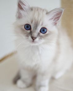 Sweet #minimazariner #marsipan #birma #birman #breeder #catsofinstgram #chokladochvanilj #kitten #pinkalicious #welovecats #we_love_cats #birmavanner #excellent_kittens #bestcats_oftheworld