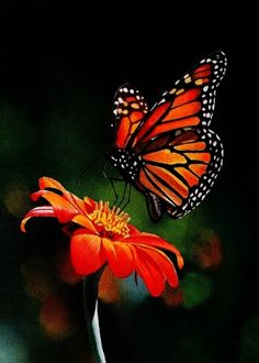 Monarch on Mexican Sunflower video, original painting by artist Jacqueline Gnott | DailyPainters.com