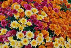 Los crisantemos se encuentran muy fácilmente en nuestro país, pero son originarios de Asia. Son especialmente populares en Japón. La planta tiene incluso un estatus real allí y cada año los japoneses celebran el Festival de la Felicidad. En este día particular honran al crisantemo como símbolo de un portador de Felicidad.