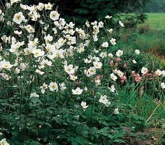 2016 Perennial Plant Association 'Plant of the Year' is 'Anemone Honorine Jobert'