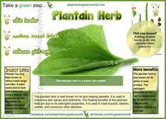 Plantain Herb - good antiinflammatory