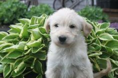 Labradoodle Pictures, Labradoodle Puppies For Sale, Pennsylvania, Dogs, Gap, Animals, Animales, Animaux, Pet Dogs