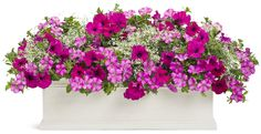 Diamond frosts - euphoribia graminea 2  Supertunias Raspberry 3  Royal magenta 2