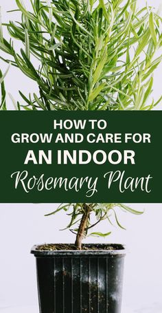 Click now to get the complete guide for how to grow and care for an indoor rosemary plant. Its an amazing kitchen herb! Click now to get the complete guide for how to grow and care for an indoor rosemary plant. Its an amazing kitchen herb! Garden Care, Horticulture, Rosemary Plant Care, Garden Plants, Indoor Plants, House Plants, Hanging Plants, Indoor Herbs, Roses Garden