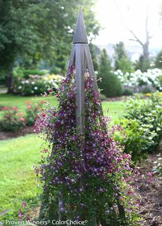 Clematis 'Sweet Summer Love'- I bought it at the UT summer celebration 2014.