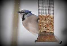 Blue Jay- picture taken by my mom!