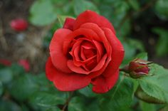 Perfectly red terracotta rose (not brown!)