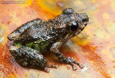 Terrestrial breeding frogs, such as this Diademed Rain-Peeper (Pristimantis diadematus), are intriguing for their reproductive behavior: these frogs do not produce tadpoles, but lay eggs which hatch into miniature versions of their parents. Photo by Alejandro Arteaga.