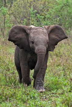 Baby Elephant - Mpumalanga, South Africa