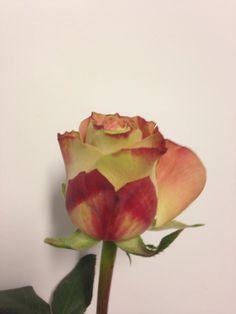 Norsk navn: Rose 'Secret Love' Botanisk navn: Rosa 'Secret Love'
