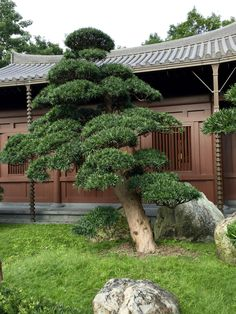 Nan Lian Garden Pine niwake
