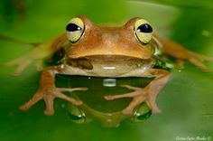 Emerald-eyed Treefrog (Hypsiboas crepitans), Ibagué, Colombia. ©Cristian Castro Morales