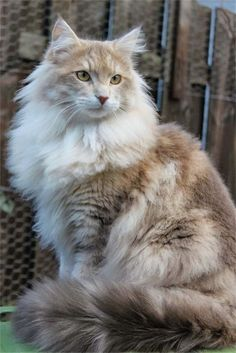 "Beautiful Maine Coon — I agree, so fluffy, Should her name be ""Fluffernutter?"" She looks like Fluff & peanut butter swirled. Or Café Au Lait. Such a lovely soft palette of cream & taupe with some coffee shading. Very unique coloration. Such a glamorous fur coat she's wearing!"