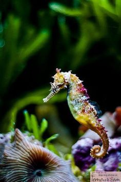 Endangered Rainbow Seahorse