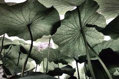 연잎 - null