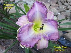 Abraham Lincoln - (Rice-JA, 2008) height 32in (81cm), bloom 5.5in (14.0cm), season M, Semi-Evergreen, Tetraploid, 22 buds, 3 branches,  Rose lavender with violet watermark and edge above green throat. (unknown × unknown)