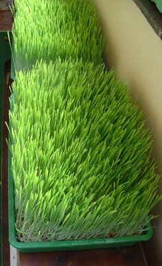 how to grow wheatgrass indoors   am I a nut for wanting to do this for my kitties instead of myself? lol They love to eat this stuff.