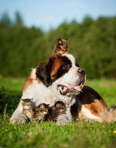 insolite chaton chien saint-bernard