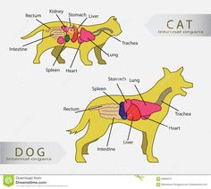 Picture of dog skeleton diagram dog grooming pinterest dog basic internal organs of cat and dog vector ccuart Image collections