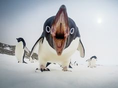 "An Adelie Penguin in Antarctica: ""Excuse me! You are invading my personal space!"""