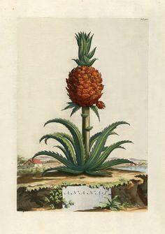 Abraham Munting, 1696 Vintage Botanical Prints, Botanical Drawings, Botanical Art, Fruit Illustration, Botanical Illustration, Pineapple Drawing, Pineapple Planting, Illustration Botanique, Fruit Painting