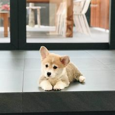 Kaitoon is a very fluffy (and photogenic) little two month old baby corgi #cute #dogs #dog #aww #puppy #adorable
